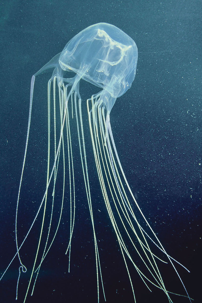 Image: 0006936062, License: Rights managed, box jellyfish or sea wasp, chironex fleckeri, poisonous, nt, aus, Property Release: No or not aplicable, Model Release: No or not aplicable, Credit line: Profimedia.cz, Oxford Scientific